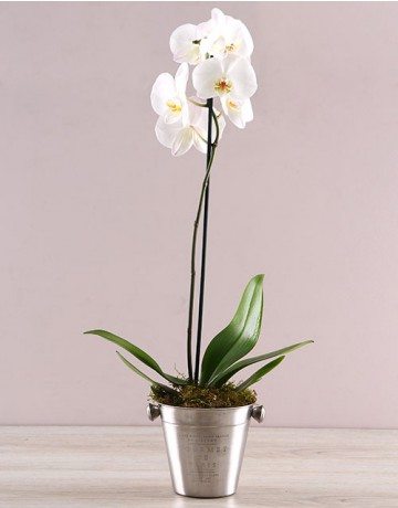 Mothers Day Orchid in Ice Bucket