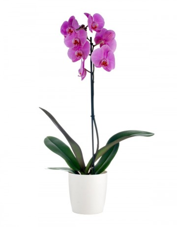 Phalaenopsis Orchid in a Pot