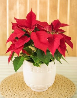 Poinsettia Pot